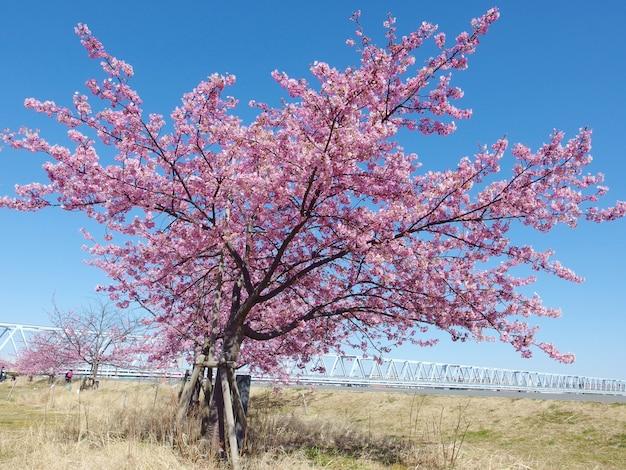 日本の桜、満開のピンクの桜の木と春の青い空。