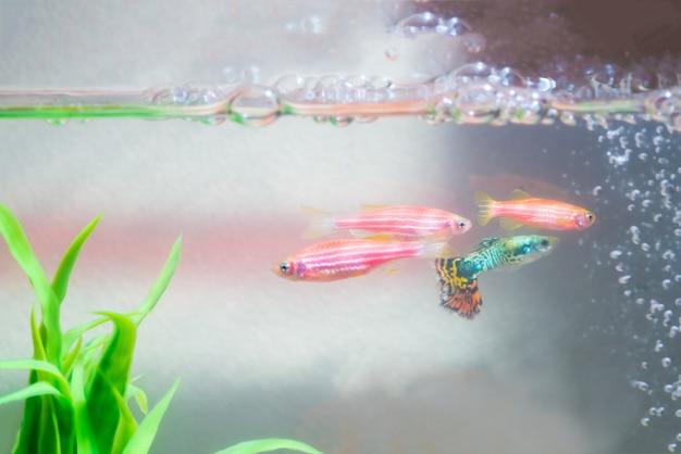 水槽や水族館で小さなグッピー魚