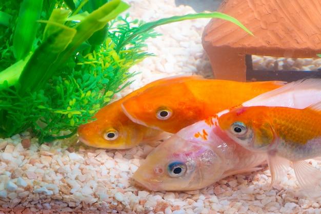 水槽や水槽、金の魚、空想の鯉の小さな魚
