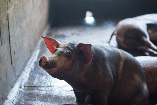 Группа в составе спать спать свиньи в ферме.