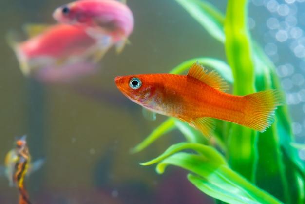 水槽または水槽の緑の植物と小さな赤い魚