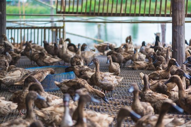 農場でアヒルのグループ、タイの伝統的な農業。