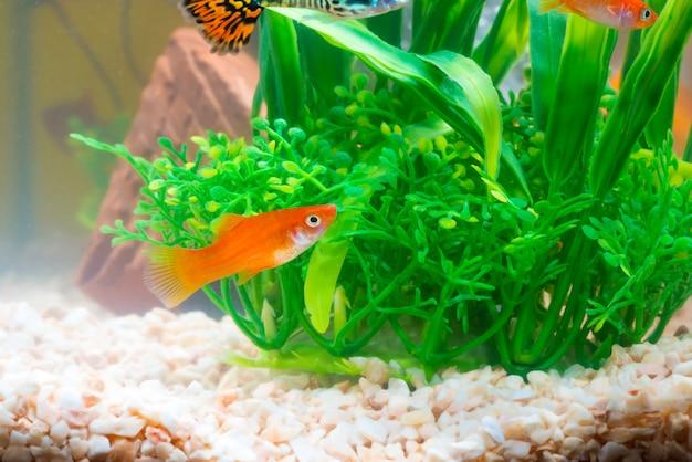 魚飼育用の水槽や水槽で小さなグッピーの魚、