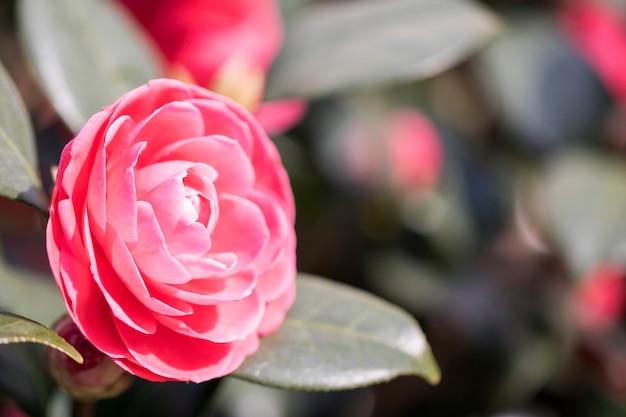 韓国で咲く椿の花