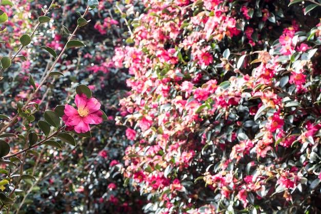 韓国済州島の椿の花が咲く