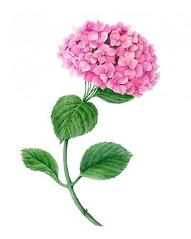 白い背景の水彩画ボタニカルイラストに分離されたピンクのアジサイの花