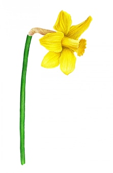 Акварельный цветок. жёлтый нарцисс из винтажной ботанической коллекции