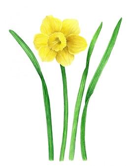 Жёлтый нарцисс старинные акварельные иллюстрации. из ботанической коллекции