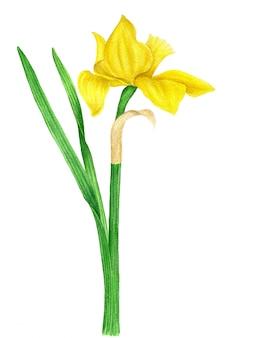 Желтый нарцисс винтажная акварель ботаническая иллюстрация
