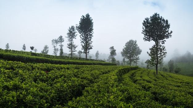 茶畑の美しい景色