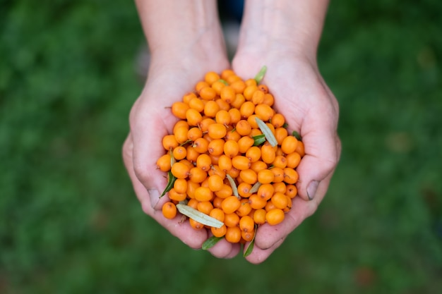 海クロウメモドキの果実を手で保持している女性。