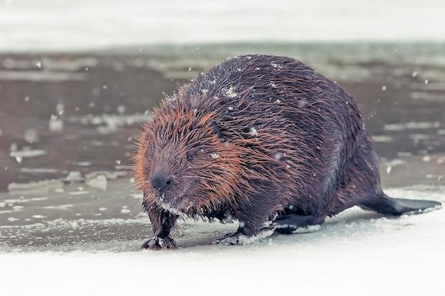 面白い茶色のアメリカンビーバー(ヒマ属)は冬に凍った湖の岸に座っています。