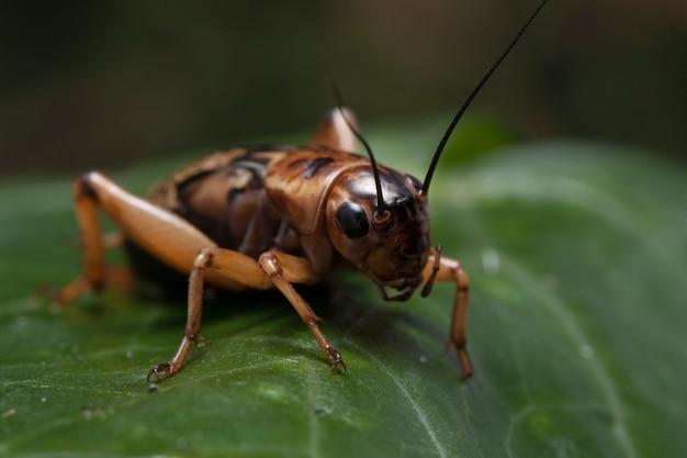 Крупный план крикет насекомых на листе