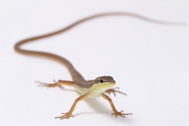 アジアの草トカゲまたは分離された長い尾を持つトカゲ