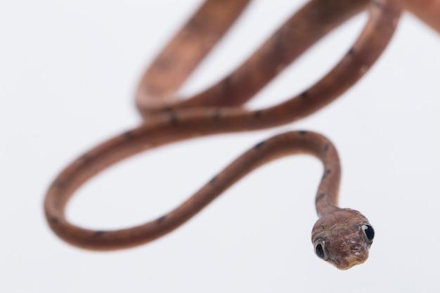Пятнистая кошачья змея на белом столе