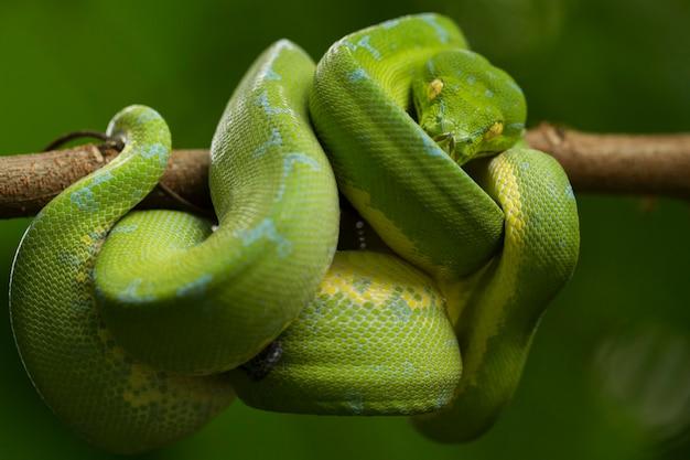 Змея зеленый питон на ветке дерева