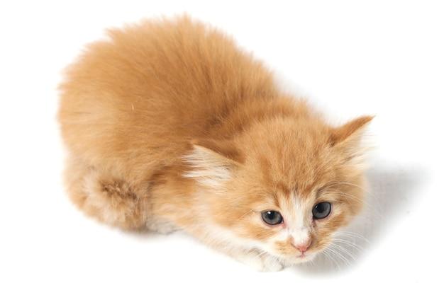 Смешанная домашняя оранжевая изолированная кошка котенок