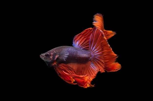 Бетта борется с рыбой на черном фоне