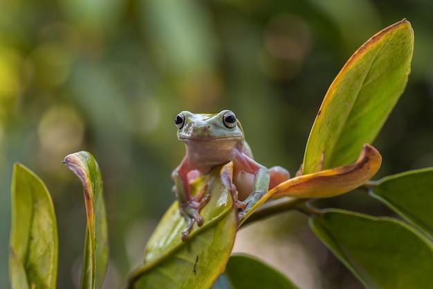 オーストラリアの緑のアマガエルのクローズアップ