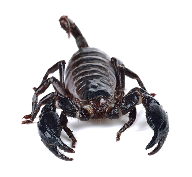 Скорпион на белом фоне