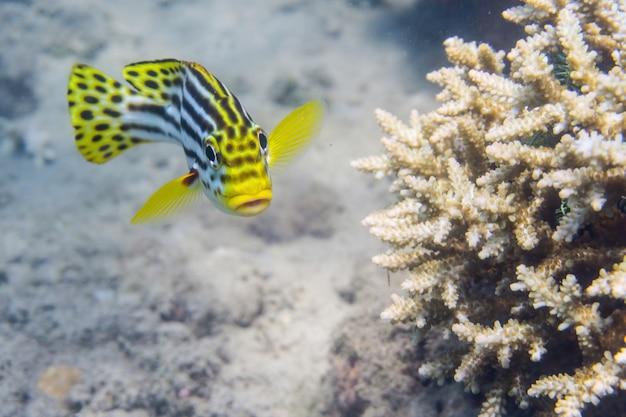 白い珊瑚の横で捕獲された黄色の縞模様のスイートリップの魚