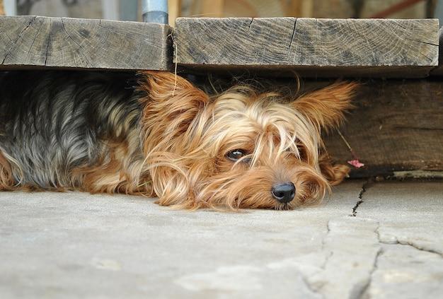 Грустный красивый лохматый йоркширский терьер лежит на земле и прячется