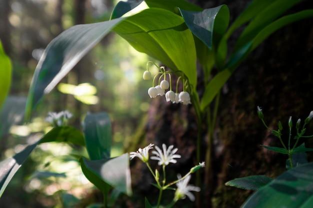 Дикие ландыши в лесу, лето на рассвете
