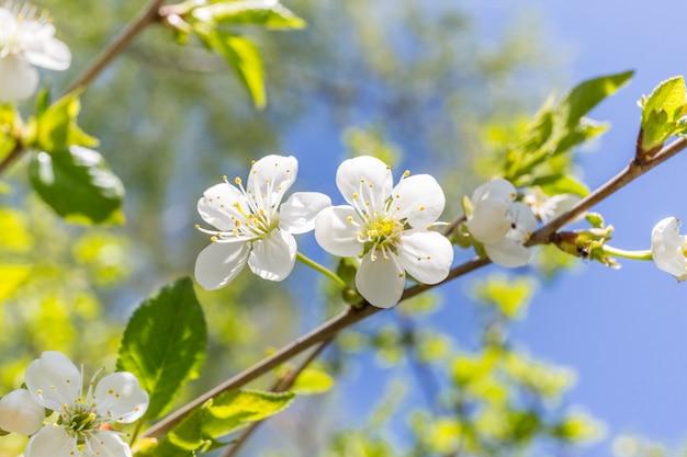 Черри блоссом весной крупным планом