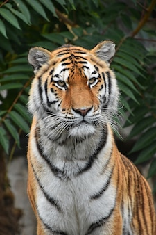 Крупным планом портрет сибирского амурского тигра
