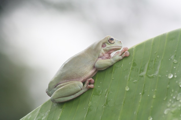 葉の上の緑のカエル