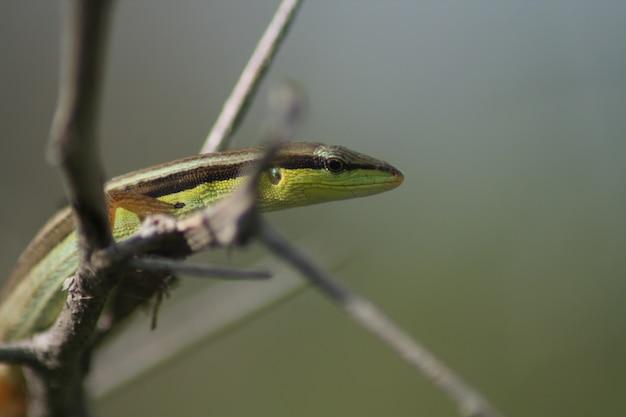 小枝のトカゲ