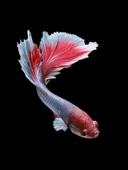 黒のベータ魚の半月のバラの尾