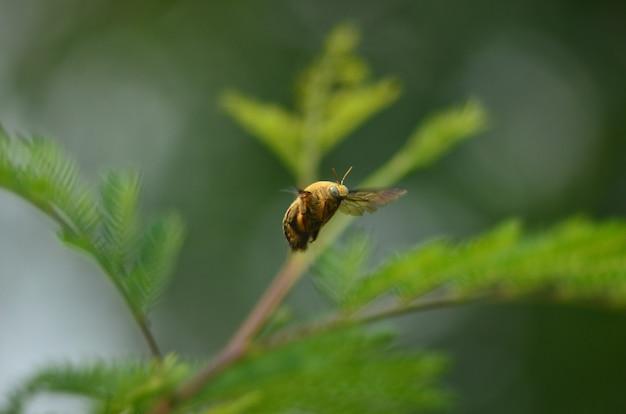 Летающая желтая пчела на зеленом