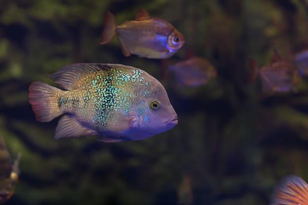 Оскар рыба в темной воде аквариума