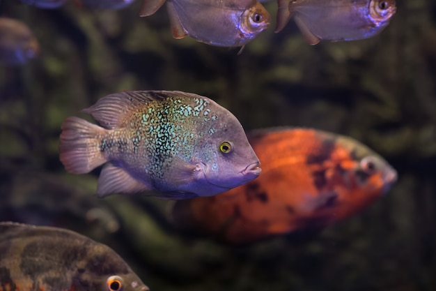 Оскар фишс в темной аквариумной воде