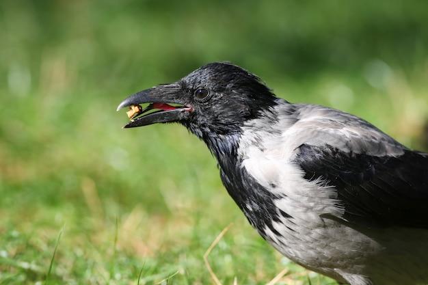 Серая ворона держит орех в клюве