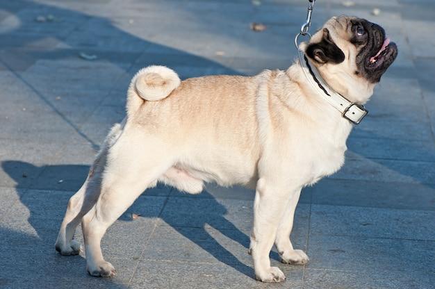 Мопс собака на открытом воздухе