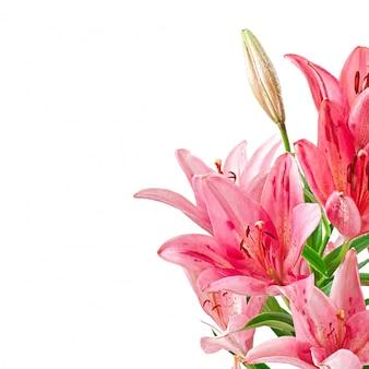 美しいピンクのユリ、白で隔離