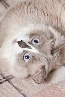 ソファに横たわっているベージュの猫