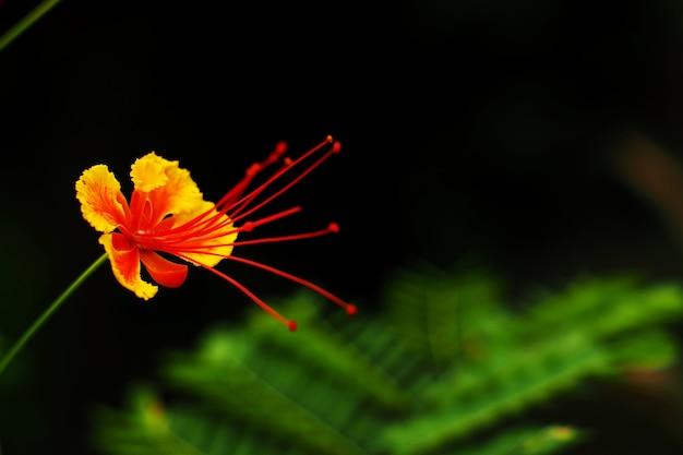庭のデロニクスレジアフラワー