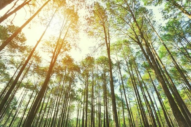 Взгляд вверх деревьев в лесе с солнечным светом. фон путешествия.