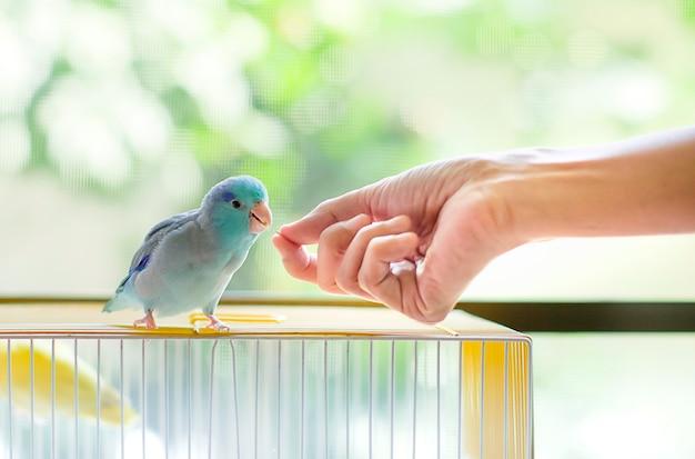 小さな青いオウムに種を供給手を閉じます。