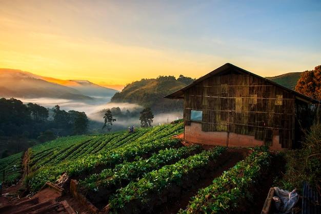 朝のイチゴ畑の風景。