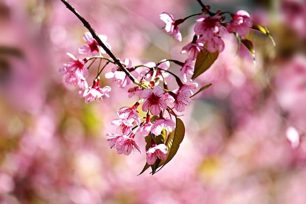 春の桜や桜の花の背景画像をフィルタリングする