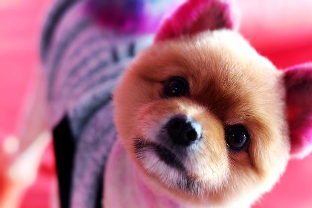 赤いソファーの上でカメラを見て、カラフルな染料の毛の子犬チワワのソフトフォーカス画像