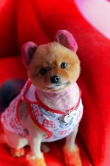 赤いソファーのかわいい子犬チワワ