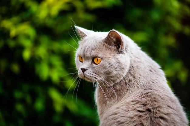 緑の芝生の上の甘いイギリスの猫