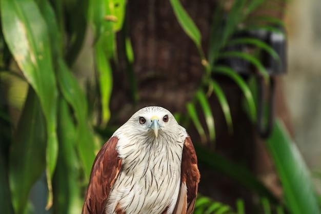 動物園、レッドホーク、タイ。