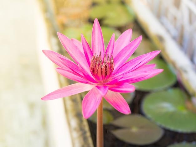 日の出の蓮の葉の中に咲く美しいピンクの蓮。