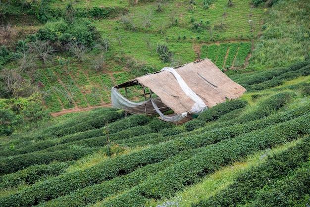 緑茶畑と竹の小屋